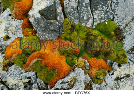 Lichen and moss on rocks, South Georgia Island - Stock Photo