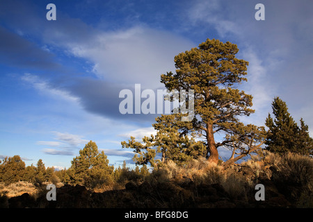 An ancient old growth juniper tree in the Badlands Wilderness area near Bend, Oregon - Stock Photo