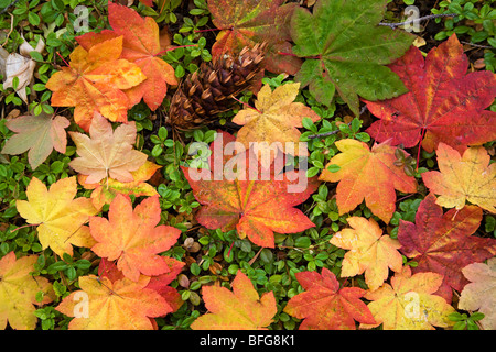 Maple leaves in a pacific northwest forest in the autumn color change in October - Stock Photo