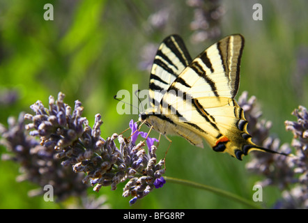 Swallowtail on the levander - Stock Photo