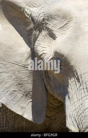 African Elephant, Loxodonta africana, close up. Masai Mara National Reserve, Kenya. - Stock Photo