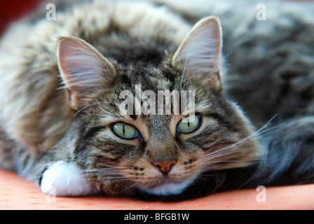 tabby cat looking at camera - Stock Photo