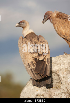 Eurasian Griffon Vulture Gyps fulvus perched after feeding Tarifa Spain February - Stock Photo