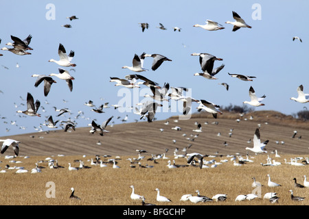 Snow geese land in large flocks to feed on wheat stubble in North Dakota. - Stock Photo