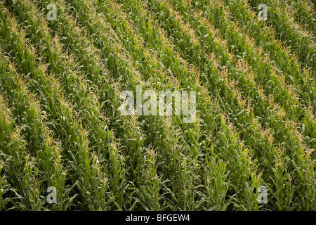 Aerial close up view of an American corn maize field with tassels in summer. Nebraska, Great Plains, USA - Stock Photo