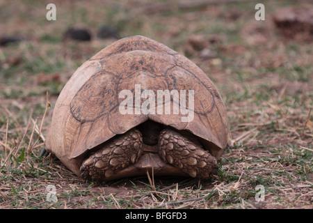 Leopard tortoise hiding - Stock Photo