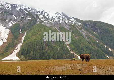 Grizzly Bear (Ursus arctos horribilis) forages for new spring sedge grasses. With rugged mountains in background. - Stock Photo