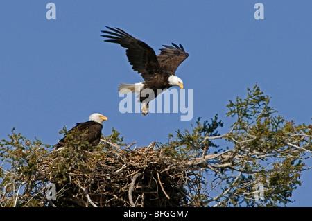 A pair of Bald Eagles (Haliaeetus leucocephalus) on thier nest, Kamloops, British Columbia, Canada - Stock Photo