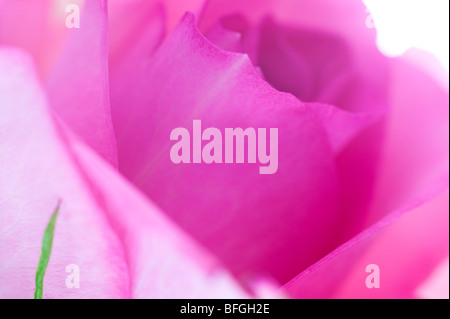 Pink Roses in Abstract against white background for card - Stock Photo