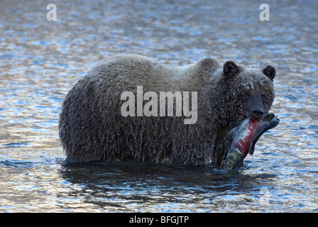 Wild Grizzly bear carrying chum or dog salmon in early winter in Fishing Branch River.  Fishing Branch Ni'iinlii'njik - Stock Photo