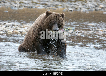 Wild Grizzly bear catching chum or dog salmon from Fishing Branch River in early winter. Fishing Branch Ni'iinlii'njik - Stock Photo