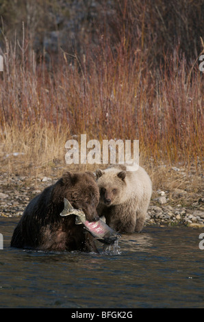Grizzly BGrizzly Bear (Ursus arctos) Chum Salmon in her mouth Fishing Branch River Ni'iinlii Njik Ecological Reserve - Stock Photo