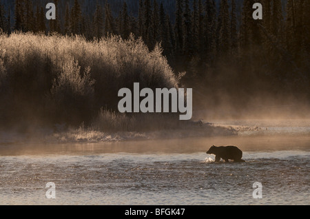 Grizzly Bear (Ursus arctos) crossing Fishing Branch River, Ni'iinlii Njik Ecological Reserve, Yukon Territory, Canada - Stock Photo