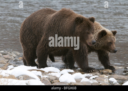 Grizzly Bear and 2nd year cub (Ursus arctos) on Fishing Branch River, Ni'iinlii Njik Ecological Reserve, Yukon Territory, - Stock Photo