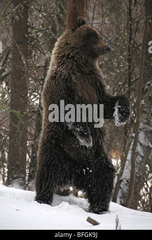 Grizzly Bear (Ursus arctos) rubbing against a tree trunk to deposit/acquire scent. Fishing Branch River Ni'iinlii - Stock Photo