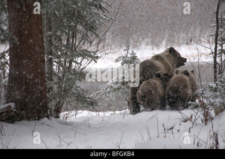 Grizzly Bear (Ursus arctos) sow and 1st year cubs walking through snowy forest. Fishing Branch River Ni'iinlii Njik - Stock Photo