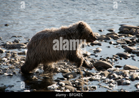 Grizzly Bear 1st Year Cub (Ursus arctos). Fishing Branch River, Ni'iinlii Njik Ecological Reserve, Yukon Territory, - Stock Photo
