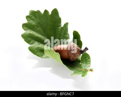 Acorn resting on oak leaf - Stock Photo