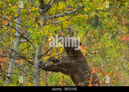 Black Bear (Ursus americanus), juvenile in cinnamon phase. Waterton Lakes National Park,  Alberta, Canada. - Stock Photo