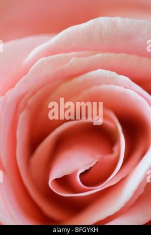 Pink rose. Cochrane, Alberta, Canada - Stock Photo