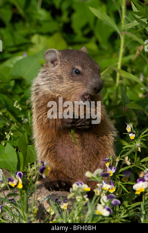 Young woodchuck (Marmota monax) in spring, eating vegetation. - Stock Photo