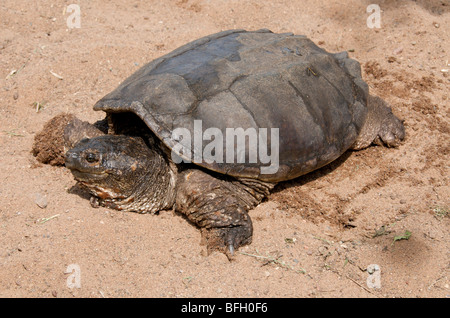 Alligator Snapping Turtle (Macrochelys temminckii) is one of the largest freshwater turtles in the world. Sandstone, - Stock Photo