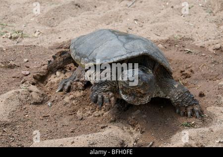 Alligator Snapping Turtle walking (Macrochelys temminckii) is one of largest freshwater turtles in world. Sandstone - Stock Photo