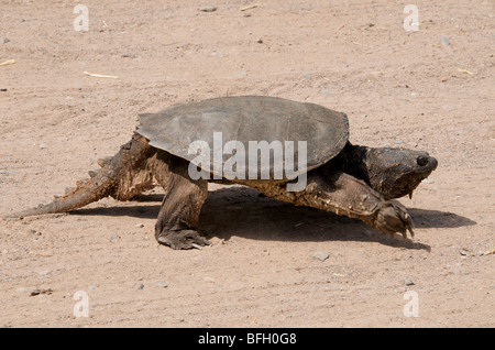Walking Alligator Snapping Turtle (Macrochelys temminckii) Sandstone, Minnesota, North America, U.S.A. - Stock Photo