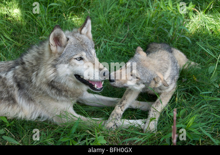 Wolf Pup and parent (Canus lupus) lying in grass in  Boundary Waters Canoe Area, Minnesota, USA, North America