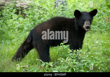 A wild male Black Bear (Ursus americanus) in Sleeping Giant Provincial Park, Ontario, Canada - Stock Photo