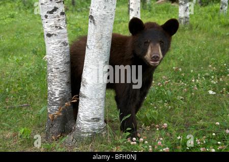 A wild male Black Bear (Ursus americanus) standing next to aspen trees in Sleeping Giant Provincial Park, Ontario, - Stock Photo