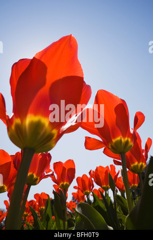 Close-up of red and yellow tulips against a blue sky background at springtime. Montreal Botanical Garden, Quebec, - Stock Photo