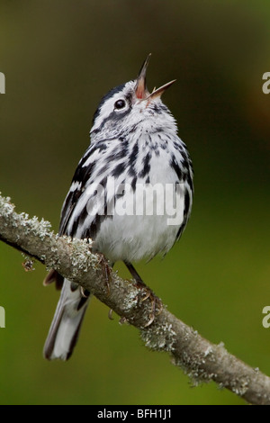 A Black-and-White Warbler (Mniotilta varia) perched on a branch at the Carden Alvar in Ontario, Canada. - Stock Photo
