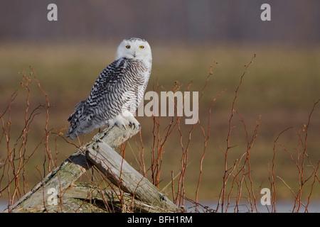 Snowy Owl (Bubo scandiacus) in Arthur, Ontario Canada. - Stock Photo