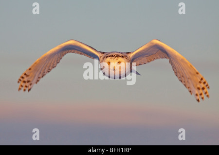 A young female snowy owl (Bubo scandiacus) hunting for rodents near Ottawa, Ontario, Canada. - Stock Photo
