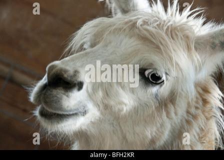 Llama on farm in western North Carolina, USA - Stock Photo