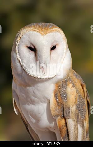 Barn Owl (Tyto alba) at the Sonoran Desert Museum, Tucson, Arizona, USA - Stock Photo
