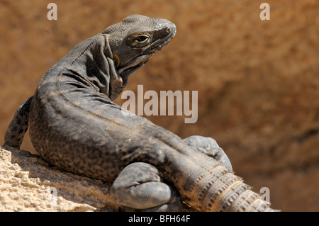 Cape Spiny-tailed Iguana (Ctenosaura Hemilopha)  at the Sonoran Desert Museum, Tucson, Arizona, USA - Stock Photo