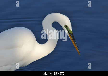 Great Egret (Ardea alba) fishing at Bolsa Chica Refuge California - Stock Photo