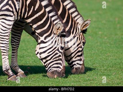 Two Chapman's Zebra (equus quagga chapmani) grazing - Stock Photo