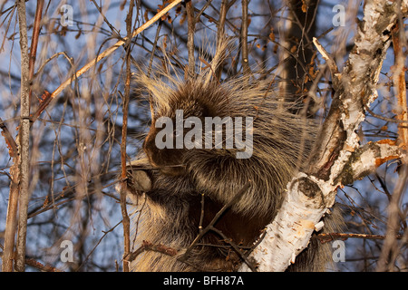 North American Porcupine, Erethizon dorsatum, near Edemonton, Alberta, Canada - Stock Photo