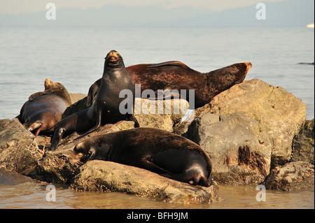 California sea lions (Zalophus californianus) on breakwater at mouth of Fraser River, Richmond, British Columbia, - Stock Photo