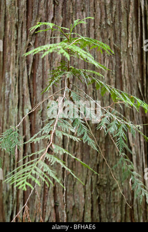 Western Red Cedar (Thuja plicata) grows extensively on West Coast of British Columbia Vancouver Island British Columbia - Stock Photo
