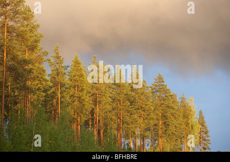 Tall Finnish pine ( pinus sylvestris ) trees in the forest , Finland - Stock Photo