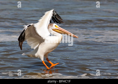 American White Pelican landing on the Red River.  Lockport, Manitoba, Canada. - Stock Photo