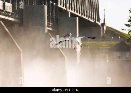 American White Pelican landing on Red River.  St. Andrews Lock and Dam a national historic site located in Lockport - Stock Photo
