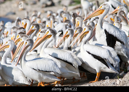American White Pelicans on bank of the Red River.  Lockport, Manitoba, Canada. - Stock Photo