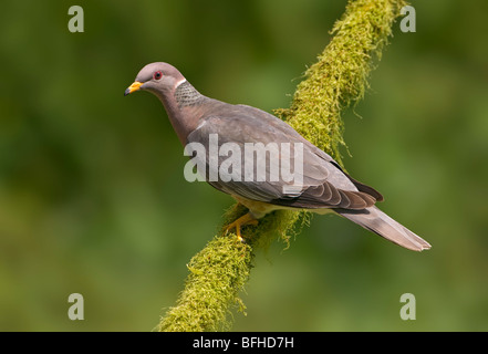 Band-tailed Pigeon (Patagioenas fasciata) on perch Victoria BC, Canada - Stock Photo