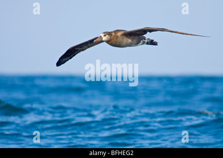 Black-footed Albatross (Phoebastria nigripes) flying in Washington, USA. - Stock Photo