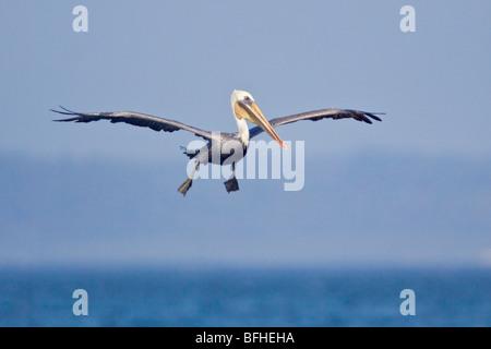 Brown Pelican (Pelecanus occidentalis) flying in Washington, USA. - Stock Photo